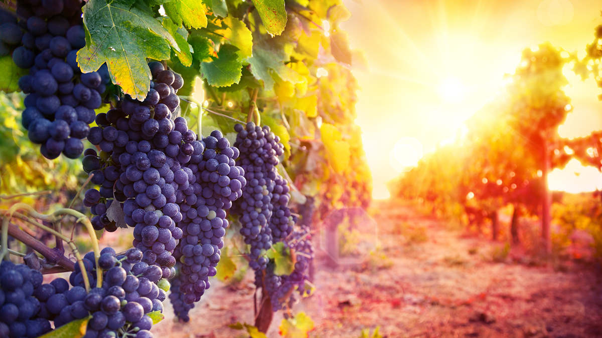vineyard with ripe grapes in countryside at sunset
